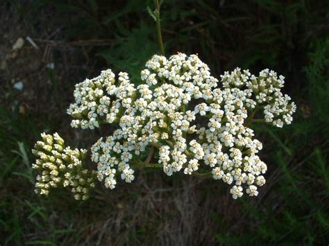 yarrow and herpes picture 7