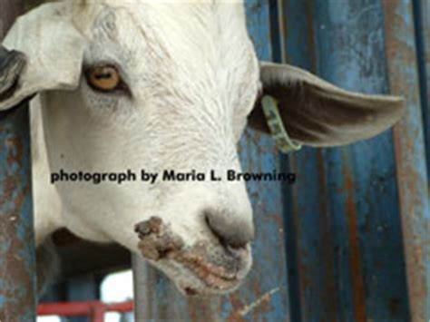 boer goats with rash lips picture 3