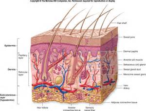 functions of the skin picture 13