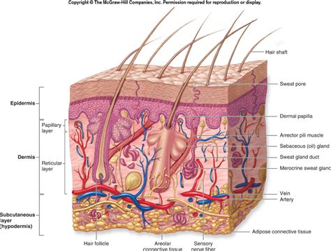 skin structure pictures picture 2