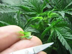 marijuana plant and how to smoke picture 7