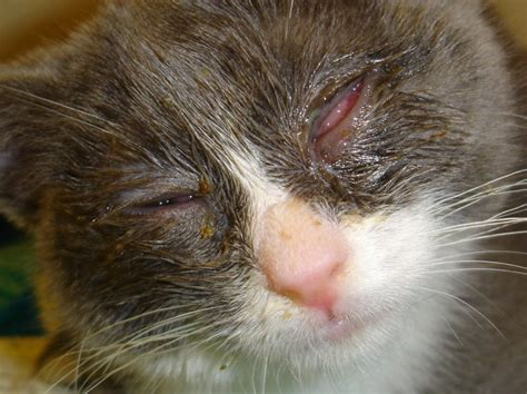 clinical signs of feline herpesvirus fcv picture 8