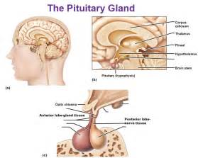 pituitary hgh supplement best picture 5