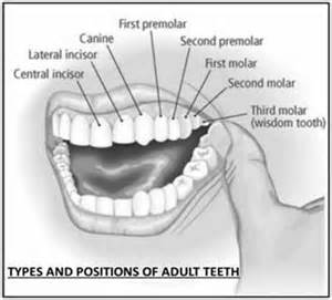 functions of our various teeth picture 7