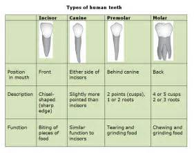 functions of our various teeth picture 11