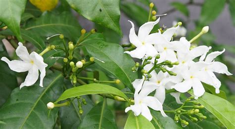 where to buy crepe jasmine bark picture 3