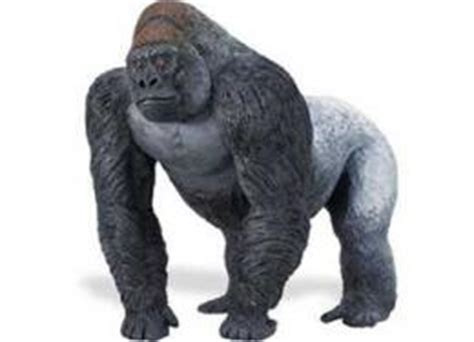 average size of a silverback gorillas penis picture 1