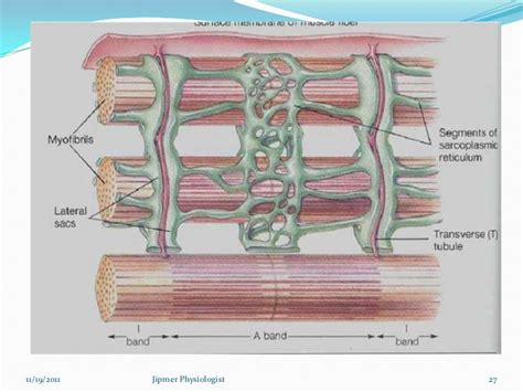 functions oe the muscle system picture 11
