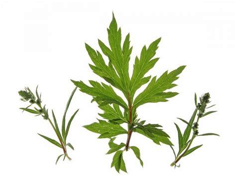 hoodia gordonii plant picture 6