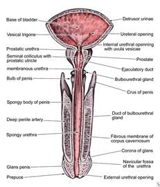 anatomy of the penis picture 13
