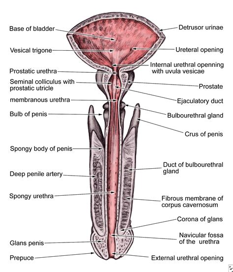 anatomy of the penis picture 5