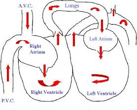 how does blood flow through the heart picture 2