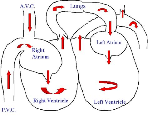 fl0w chart on the process of blood circulation picture 11