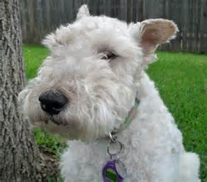 long haired foxterrier picture 19