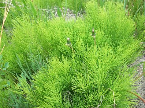 dosage goldenrod horsetail uti picture 3