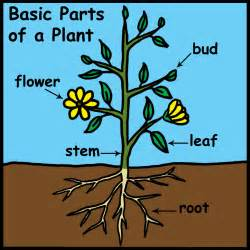 what parts of the maryjane plant do you picture 3
