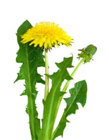 cancer & dandelion root picture 2