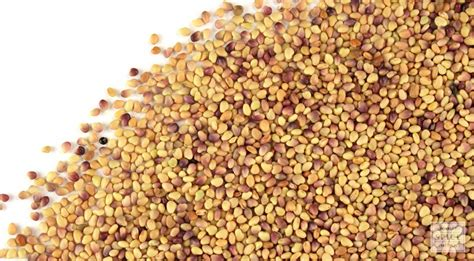 red clover seed picture 1