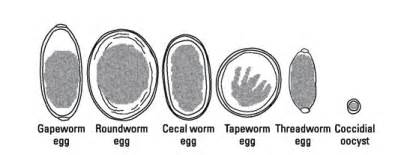 intestinal worm infections picture 1