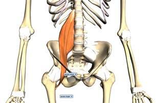 iliopsoas muscle picture 6
