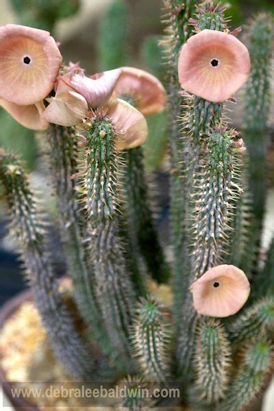 hoodia sure picture 1