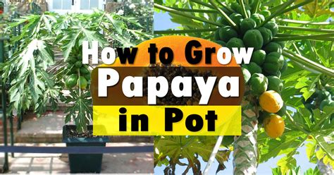 papaya in planter picture 5