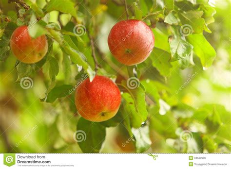 mpfunguri tree pills enlargement picture 7