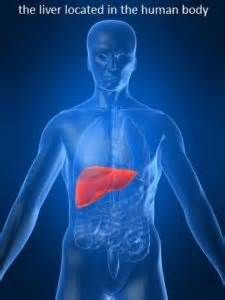 where is the liver located in the body picture 10
