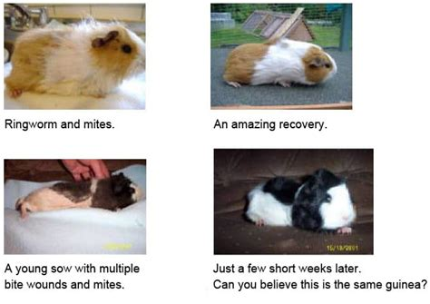 skin condition in lactating guinea pig picture 12