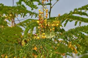 sibukaw herbal tree picture 3