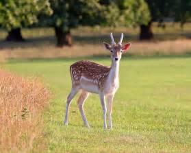 deer penis and antlers tea picture 2