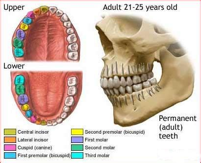 digestion teeth picture 1