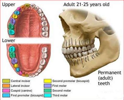 digestion teeth picture 6