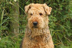 course hair in terrier picture 3