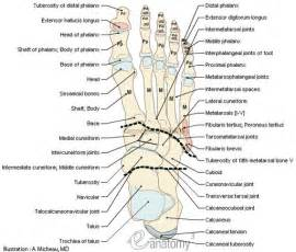 ankle joint diagram picture 18