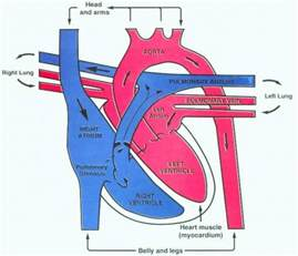 heart diagram blood flow picture 6