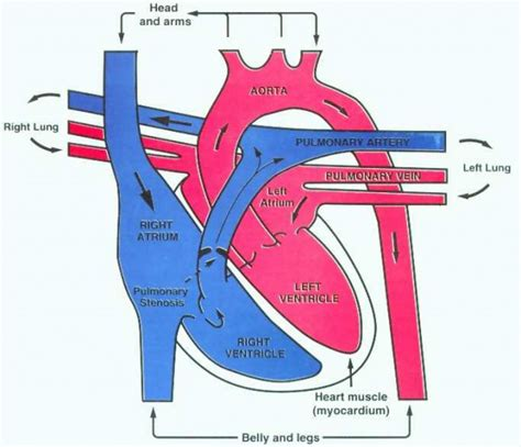 diagram of blood flow picture 15