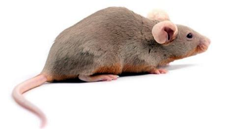 cholesterol studies in rats picture 11