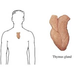 thymus gland picture 2