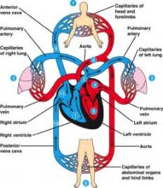 blood flow in the circulatory system picture 3