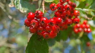 hawthorn berry picture 9