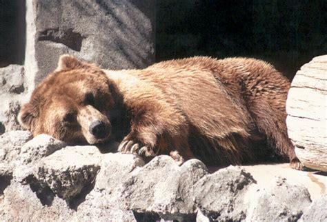 adirondack black bear sleep habits in spring picture 4
