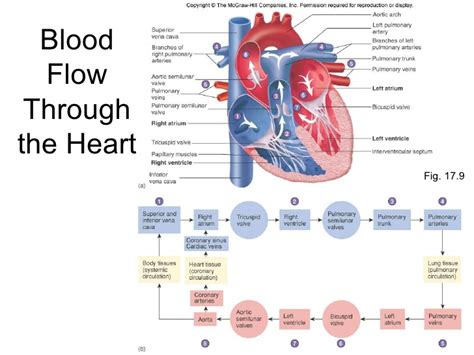 picture blood flow heart picture 15