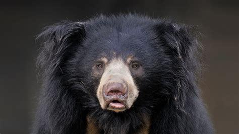 bear teeth picture 1