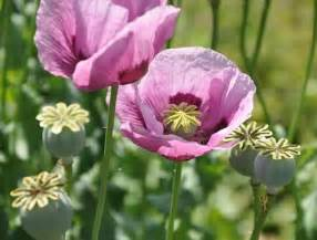 opium like herbs picture 1