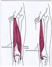 hamstring muscle picture 3