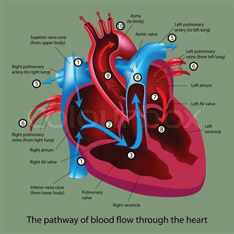 blood flow through the heart picture 7