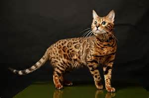 bengal cats information on diet picture 10