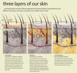 dermal layer of the skin picture 15