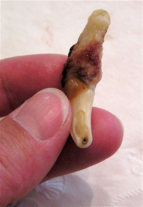 dead dog teeth picture 9
